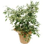 ficus panach